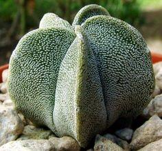 Astrophytum Myriostigma V Potosinum