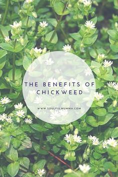 The benefits of Chickweed
