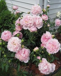 Peony Supports And Growing