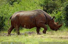 Black #rhinoceros. It looks like a #statue! @ Nairobi National Park in #Kenya - For a Nairobi National Park Travel Guide visit www.safaribookings.com/nairobi-np. Reviews, Photo's and more!