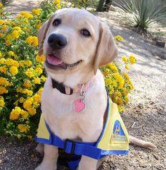 CCI Puppy in Training