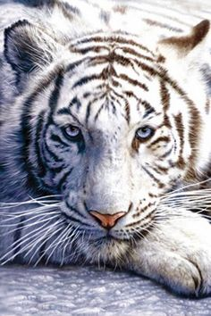 White Bengal Tiger http://www.voteupimages.com/white-bengal-tiger/