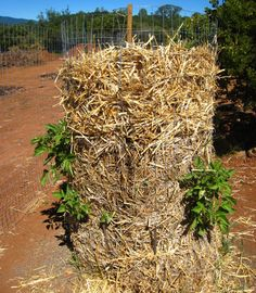 How to grow potatoes vertically using a tower structure.