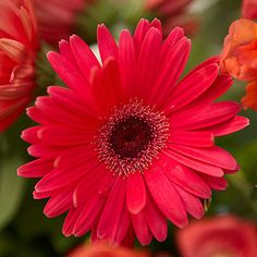Find essential growing information on gerbera daisy, including: flower and foliage colors, height and width, seasonal features and special features. Check out more information about gerbera daisy care and explore tips on how to grow gerbera daisies. Gardening For Dummies, Sun Loving Plants, Popular Flowers, Gerber Daisies, Gerbera Daisy Care, Pink Gerbera, Plantar, Garden Plants, Garden Birds