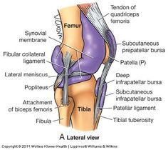 Knee ligaments: Physician Assistant 2014 > Lockwood > Flashcards >...