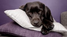 """Properly trained, a man can be dog's best friend.""  (Chocolate Labrador Retriever)"