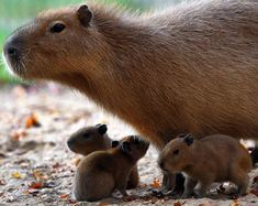 Cute baby capybaras. No, I hadn't heard of them either.