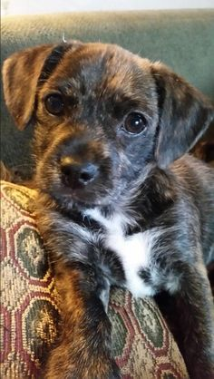 Our Lil Lincoln  (Linc) he is a pug/terrier mix and he is a JOY