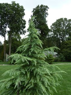 - fun funky cedar that tops out at or so could be nice on your corner Ornamental Trees, Plants, Garden Trees, Ornamental Trees Landscaping, Evergreen Landscape, Cedrus Deodara, Conifers Garden, Outdoor Gardens, Evergreen Garden