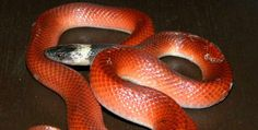 Pseudoboa neuwiedii, Sabana de Torres (Santander). Reptiles, Snake, Animals, Towers, Animales, Animaux, A Snake, Animal, Animais