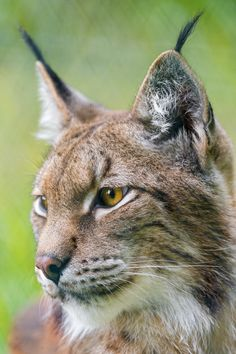 Another nice lynx picture! Another nice lynx picture!You can find Lynx and more on our website.Another nice lynx picture! Another nice lynx picture! Beautiful Cats, Animals Beautiful, Wildlife Photography, Animal Photography, Eurasian Lynx, Lynx Lynx, Pet Rats, Animal Totems, Tree Frogs