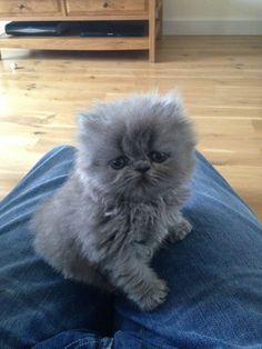 grey blue persian cat