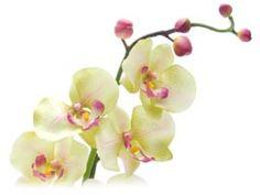 Comment Entretenir Les Orchid Es Fleurs D 39 Orchid Es Fleur Et Comment