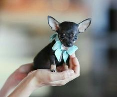 Effective Potty Training Chihuahua Consistency Is Key Ideas. Brilliant Potty Training Chihuahua Consistency Is Key Ideas. Chihuahua Puppies For Sale, Baby Chihuahua, Teacup Puppies, Cute Puppies, Cute Dogs, Dogs And Puppies, Doggies, Teacup Pomeranian, Pomeranian Puppy