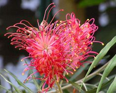 Grevillea banksii Forsterii. Usually very large blooms too.