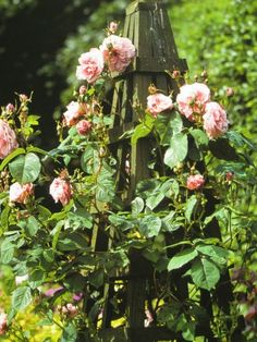 Growing climbing roses and pictures of climbing roses in a garden setting, best climbing roses, fragrant climbing roses Rose Varieties, Rose Wall, Growing Roses, Climbing Roses, Trellis, Garden Inspiration, Beautiful Gardens, Floral Wreath, Home And Garden
