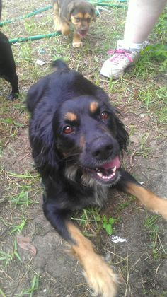Belle is a 3 year old Cocker Spaniel mix who came to us with 6 puppies and heartworm positive. She has been living with several dogs but not sure how she is with cats. She has been started on the slow kill heartworm treatment.Fenced yard required.