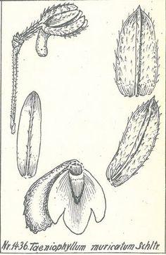 Taeniophyllum muricatum