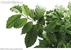 Coffee tree (Coffea arabica), close-up