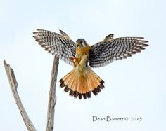 American Kestrel landing on snag Falcon Tattoo, Falcon Hawk, American Kestrel, Peregrine Falcon, Backyard Birds, Birds Of Prey, Woodburning, Raptors, Ravens