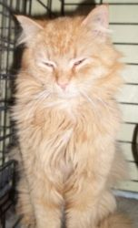 Bullet is an adoptable Domestic Long Hair - Orange Cat in Acme, PA. Bullet is about 2.5 years old. He is a long haired orange kitty who was living outside. Since he was a long haired kitty outside his...