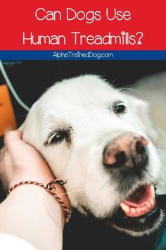 """When you're exercising your dog, you often ask yourself, """"Can dogs use human treadmills?"""" Read on to find out the answer to that question! Alpha Dog Training, Dog Training Classes, Leash Training, Puppy Training Tips, Training Your Puppy, Dog Treadmill, Dog Pants, Treadmills, Best Puppies"""