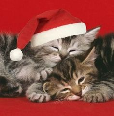 A photo of kittens sleeping. Merry Christmas Dog, Christmas Kitten, Christmas Animals, Christmas Hats, Christmas Dresses, Merry Xmas, Christmas Time, Kittens And Puppies, Cute Kittens