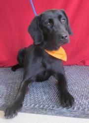 Here is Chelsea, a lovely black lab mix, one year old and 52 lbs who is new to RPSM.  She will be going into the prison training program on Feb. 6th to learn obedience commands, and some cute tricks.  She will be socialized with the other dogs too.  Chelsea is spayed, up-to-date on vaccinations, micro chipped, and on FT and HW preventative.  Please check back for updated information on Chelsea.  Go to www.rpsm.org to fill out an application for the lovely Chelsea.  Her adoption fee is $175.