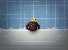 Labrador Retriever taking a bubble bath :) How adorable? I love the rubber ducky prop! Dog Photos, Dog Pictures, Animal Pictures, Some Beautiful Pictures, Beautiful Dogs, Dog Rules, Lab Puppies, Black Labs, I Love Dogs