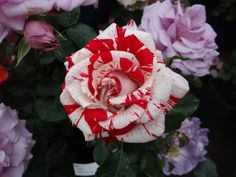 This years @GROWlondonfair was bursting with some of the countries finest flower nurseries. C & K Jones rose specialists, displayed a range of stunning roses, good enough to eat!