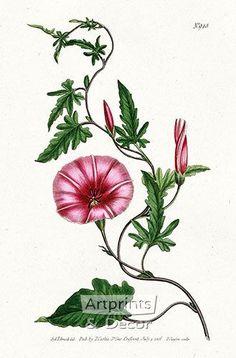 Antique prints from 1815 Curtis Botanical Magazine Red, Orange Highly Decorative Prints Vintage Botanical Prints, Botanical Drawings, Antique Prints, Vintage Prints, Botanical Flowers, Botanical Art, Illustration Blume, Vintage Drawing, Floral Illustrations
