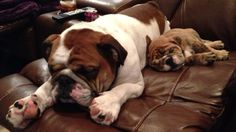 ♥ Nap time crash ♥ Posted from I Love English Bulldogs