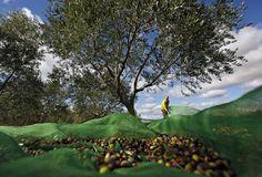 Een Franse olijfboer oogst de vruchten voor productie van olijfolie bij het Domaine Rocher des Fées in Zuid-Frankrijk. Foto Guillaume Horcajuelo