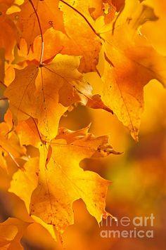 Fall Maple Leaves Print By Elena Elisseeva