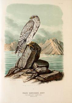 https://flic.kr/p/yvdxdD | n40_w1150 | Die Raubvögel Deutschlands und des angrenzenden Mitteleuropas;. Cassel [Germany]Verlag von Theodor Fischer,1876.. biodiversitylibrary.org/page/47850735