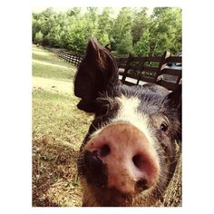 Blackberry Farm: Pig Selfie!  www.blackberryfarm.com