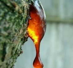 Like Frankincense, Myrrh oil (Commiphora myrrha) is extracted from resin that oozes from very tough . Myrrh Essential Oil, Small White Flowers, Small Trees, Natural Remedies, Lotion, Herbalism, Fragrance, Perfume, Essential Oils