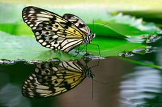 On the water - Found this beautiful butterfly in the exhibition on the Botanic Garden in Augsburg. There are green leafs of the waterlilies on a basin. I took my tripod in the water and shoot this picture. Hope you enjoy!  The name of the butterfly is idea leuconoe. Other names are paper kite, rice paper or large tree nymph butterfly. Is known especially for its presence in butterfly greenhouses and live butterfly expositions. The paper kite is of Southeast Asian origin (Wikipedia).  More…