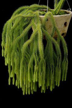 Lycopodium squarrosum (plavuň kostrbatá)
