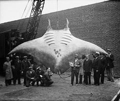 Giant Pacific Manta Ray: critically endangered.
