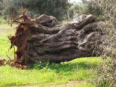 Xylella, D'Amato (M5S) incalza commissario Ue: in Puglia procedere con misure alternative