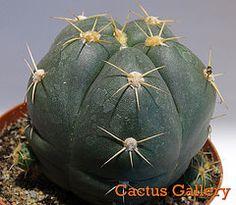 Gymnocalycium horstii Cactus Gallery