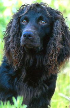 Boykin Spaniel perfect looking duke! Boykin Spaniel Puppies, Spaniel Breeds, English Springer Spaniel, Dog Breeds, Cute Puppies, Dogs And Puppies, Doggies, Working Spaniel, Brown Dog