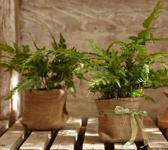 Live East Indian Holly Fern | Pottery Barn  Burlap bags