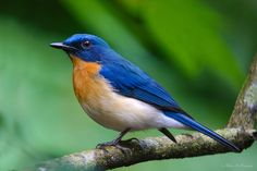 This photo was taken from Kerala, India.  Tickell's Blue Flycatcher is one of the birds from the Muscicapidae family found in Kerala.