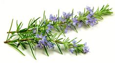 Rosemary - Rosmarinus Officinalis One of the best known herbs. Likes a sheltered but warm situation. Pale blue flowers and fine aromatic leaves have many uses, but most often used with roast lamb. Rosemary is easy to grow and generally pest resistant Rosemary Flower, Rosemary Plant, Plants That Repel Flies, Camomille Romaine, Fly Repellant, Mosquitos, Mosquito Repelling Plants, Healing Herbs, Tea Tree Oil