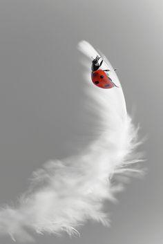 Ladybird, mikroman6
