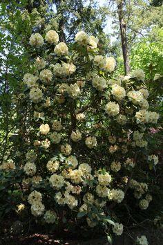 Horizon Monarch rhododendron
