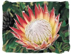 The King Protea - South African National Symbols, National Symbols of South Africa - protractedgarden Protea Art, Protea Flower, Afrika Tattoos, South African Flowers, South Africa Tours, African Symbols, King Protea, National Symbols, African Culture