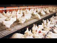 Extreman Medidas de para Prevenir el Ingreso de la Influenza Aviar - TvA...